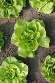 Lettuce in the garden — Stock Photo