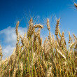 Growth wheat — Stock Photo