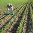 Stock Photo: Farmer watching rows of soybean