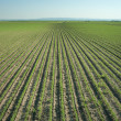 SoybeField Rows — Stock Photo #9605491