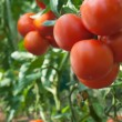 Growth tomato — Foto Stock