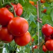 Growth ripe tomato — Stock Photo #9605853