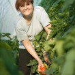 Stock Photo: Women picked tomatoes