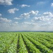 SoybeField Rows — Stock Photo #9606711