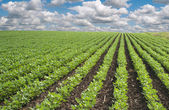 Soybean fields — Stock Photo