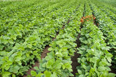 Soybean Field Rows — Stock Photo