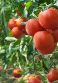 Growth tomato — Stock Photo