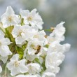 Bees pollination cherry blossom — Stockfoto