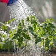 Watering tomato — Stock Photo #9636913
