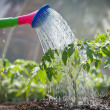 Watering seedling tomato - Stock Photo