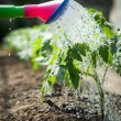 Watering seedling tomato — Foto Stock