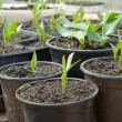 Seedlings pepper — Stock Photo #9637198