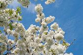 Cherry blossom tree — Stock Photo