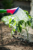 Watering seedling tomato — Stock Photo