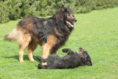 Belgium Shepherd and terrier — Stock Photo