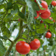 Foto de Stock  : Growth tomato