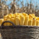 Harvest corn — Stock Photo #9651130