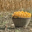 Harvest corn — Stock Photo