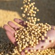 Stock Photo: Humhands holding soy beans