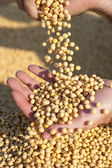 Human hands holding soy beans — Stock Photo