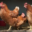Chicken farm — Stock Photo #9667123
