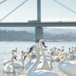 Stock Photo: Group of swans