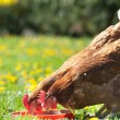 Hens pecks food in meadow — Stock Photo