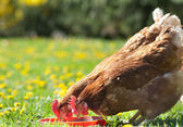 Hens pecks food in meadow — Stok fotoğraf