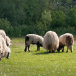 A sheep in a pasture — Foto Stock