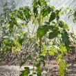 Foto Stock: Watering seedling tomato