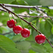 Sour cherry on a tree — Stock Photo