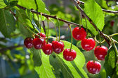 Cherry on a tree — Stock Photo