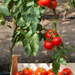 Ripe tomatoes — Stock Photo #9854092