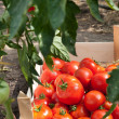 Ripe tomatoes — Stock Photo #9854169