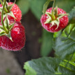 Red raspberry — Stockfoto