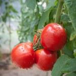 pomodoro di crescita — Foto Stock