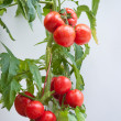 Growth tomato — Stock Photo #9897226