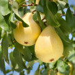 Pears on tree - Stock Photo