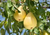 Pears on tree — Stock Photo