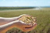 Soybean Harvest — Stock Photo