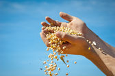 Human hands pouring soy beans — Stock Photo