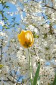 Tulpen in volle bloei in het voorjaar van — Stockfoto