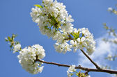Cherry Tree in Bloom — Stock Photo