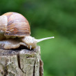 Big Snail — Stock Photo