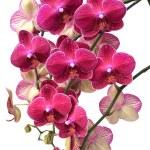 ハワイピンクの蘭 — ストック写真
