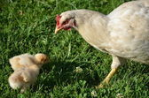 White broody hen with chicks — Stock Photo