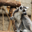 Ring Tail Lemur — Stock Photo #9506997