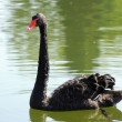 Black swan on lake - Foto Stock