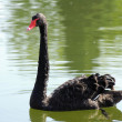 Black swan on lake - Stock Photo