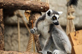 Ring Tail Lemur — Stock Photo